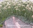 "Кошачья лапка ""Alba"" (Antennaria dioica)"