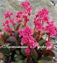 "Бадан ""Dragonfly Sakura"" (Bergenia hybrida)"