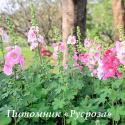 "Шток-роза ""Radiant Rose"" (Alcea rosea)"