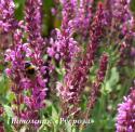 "Шалфей дубравный ""Pink Beauty"" (Salvia nemorosa)"