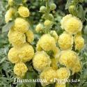 "Шток-роза ""Chater's Double Yellow"" (Alcea rosea)"